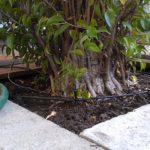 ficus-in-ground-2