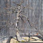 trident-maple-bonsai-022612