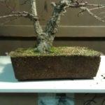 arakawa-bonsai-repot-2