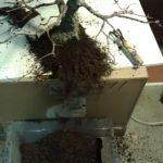 arakawa-bonsai-repot-4