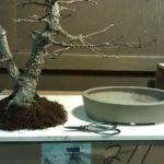 arakawa-bonsai-repot-6