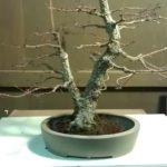 arakawa-bonsai-repot-8