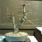 arakawa-bonsai-repot-9