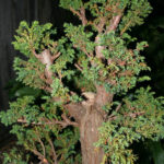 10-cryptomeria-japonica