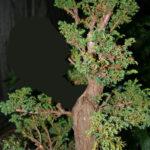 11-cryptomeria-japonica