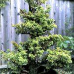 3-cryptomeria-japonica