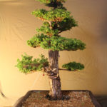 cryptomeria032711x3