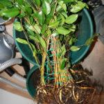 ficus-fusing-bonsai-10