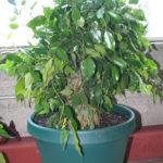 ficus-fusing-bonsai-17
