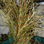ficus-fusing-bonsai-18