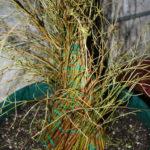 ficus-fusing-bonsai-20