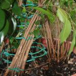 ficus-fusing-bonsai-21