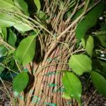 ficus-fusing-bonsai-27
