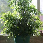 ficus-fusing-bonsai-29