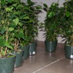 ficus-fusing-bonsai-3