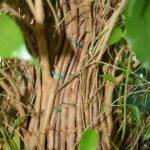 ficus-fusing-bonsai-30