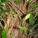 ficus-fusing-bonsai-34
