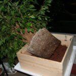 ficus-fusing-bonsai-39