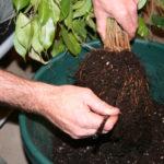 ficus-fusing-bonsai-4
