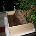 ficus-fusing-bonsai-40