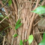 ficus-fusing-bonsai-49
