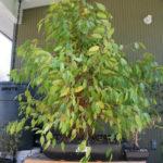 ficus-fusing-bonsai-52