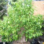ficus-fusing-bonsai-53