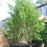 ficus-fusing-bonsai-54