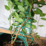 ficus-fusing-bonsai-7