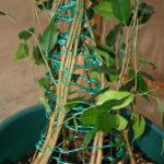 ficus-fusing-bonsai-8
