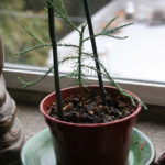 giant-sequoia-pre-bonsai-1