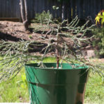giant-sequoia-pre-bonsai-3