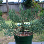 giant-sequoia-pre-bonsai-4