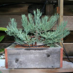 giant-sequoia-pre-bonsai-5