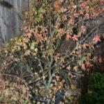 japanese-maple-acer-palmatum-bonsai-1