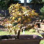 japanese-maple-acer-palmatum-bonsai-10
