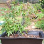 japanese-maple-acer-palmatum-bonsai-11