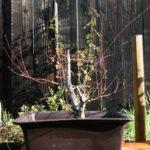 japanese-maple-acer-palmatum-bonsai-12