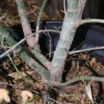japanese-maple-acer-palmatum-bonsai-2