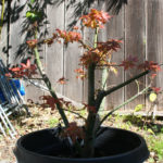 japanese-maple-acer-palmatum-bonsai-7