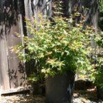 japanese-maple-acer-palmatum-bonsai-9