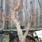 japanese-maple-arakawa-bonsai-1