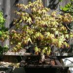japanese-maple-arakawa-bonsai-10