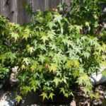 japanese-maple-arakawa-bonsai-11