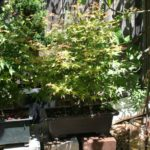 japanese-maple-arakawa-bonsai-12