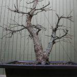 japanese-maple-arakawa-bonsai-13