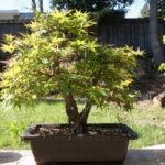 japanese-maple-arakawa-bonsai-14