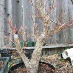 japanese-maple-arakawa-bonsai-2