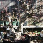 japanese-maple-arakawa-bonsai-4