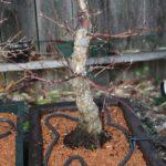 japanese-maple-arakawa-bonsai-7